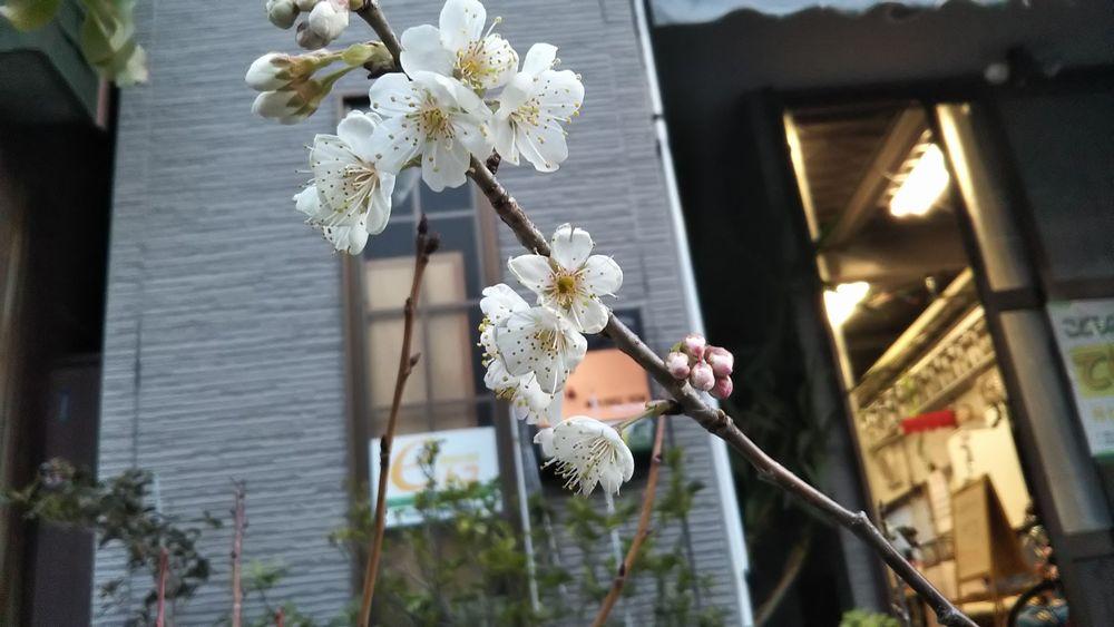 eトコの桜