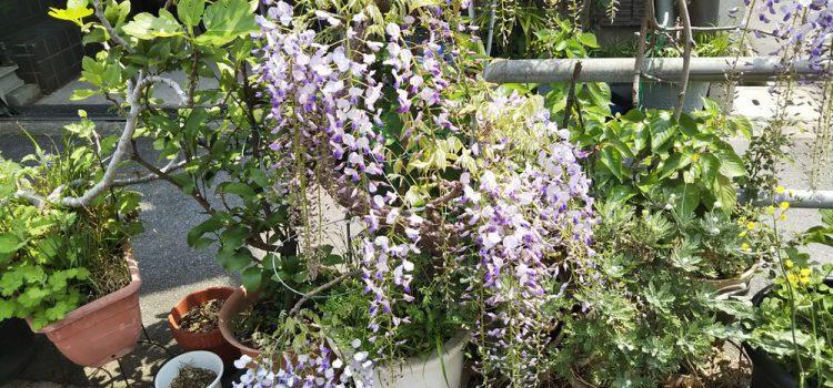 eトコ・ガーデンに藤の花