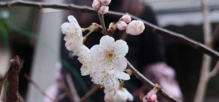 eトコの桜が開花