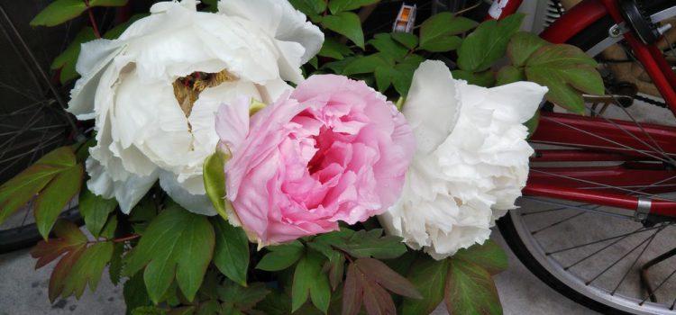 牡丹、藤、マーガレット、苺の花